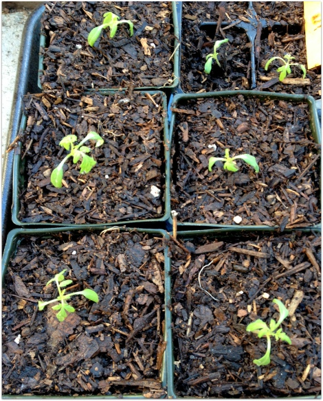 transplanted seedlings